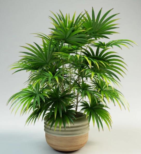 пальма рапис