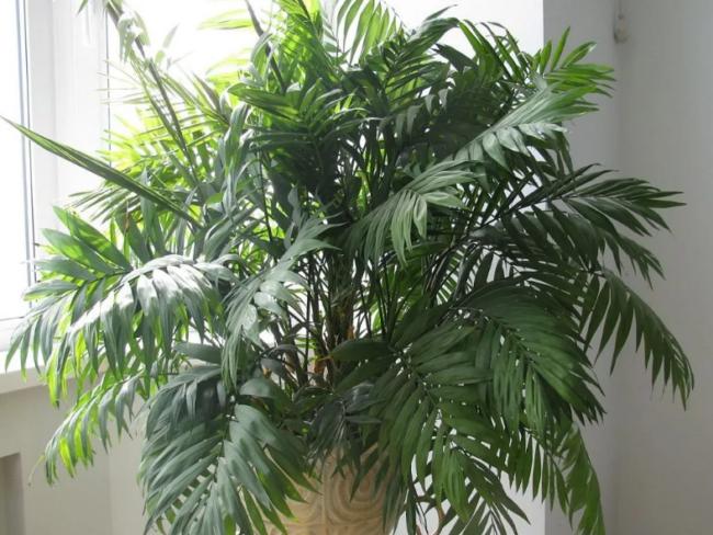 хамедорея бамбуковая пальма