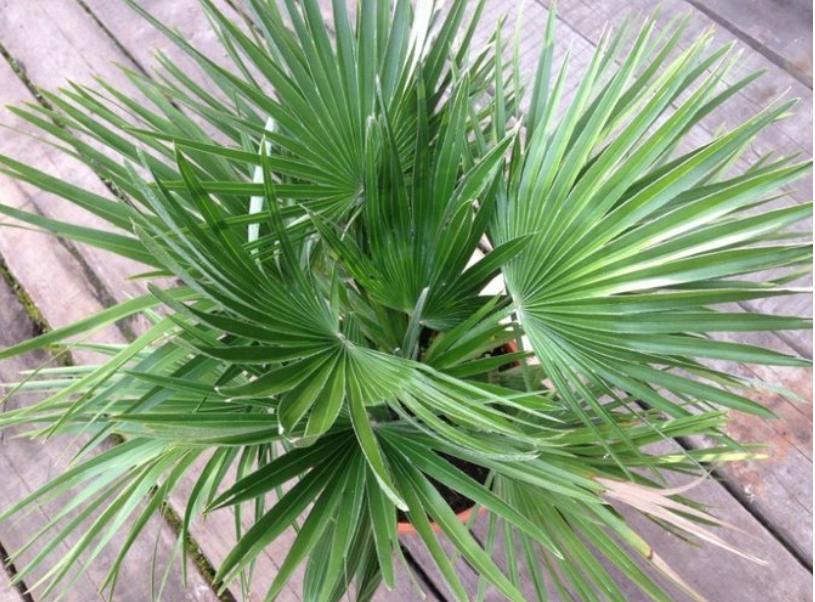 пальма хаменоропс