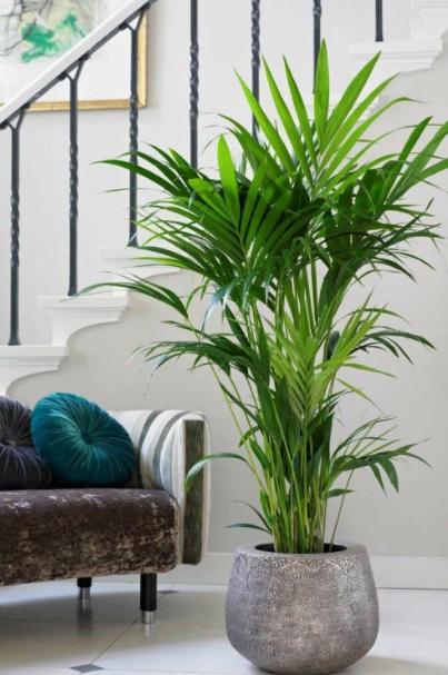 пальма ховея в доме приметы