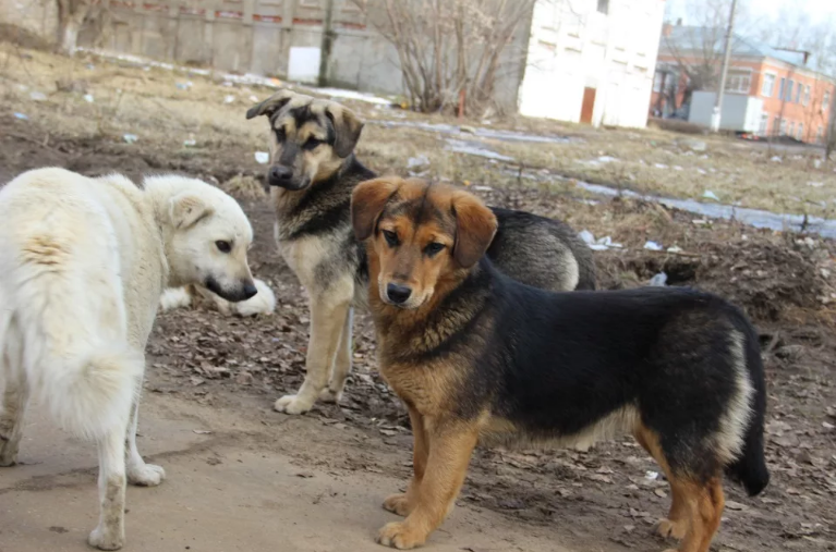 стая собак на дороге