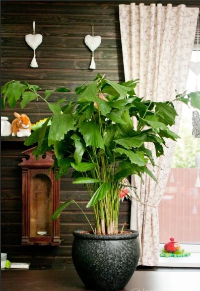 пальма кариота в доме