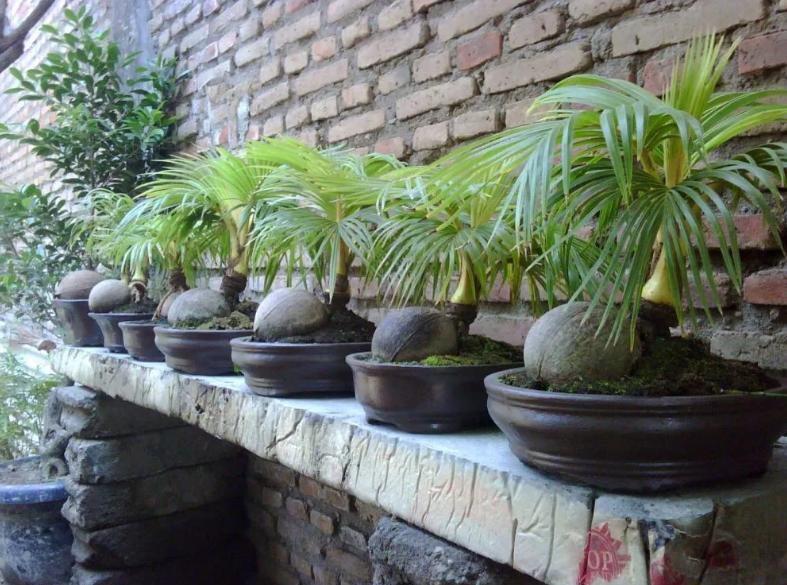 кокосовая пальма дома