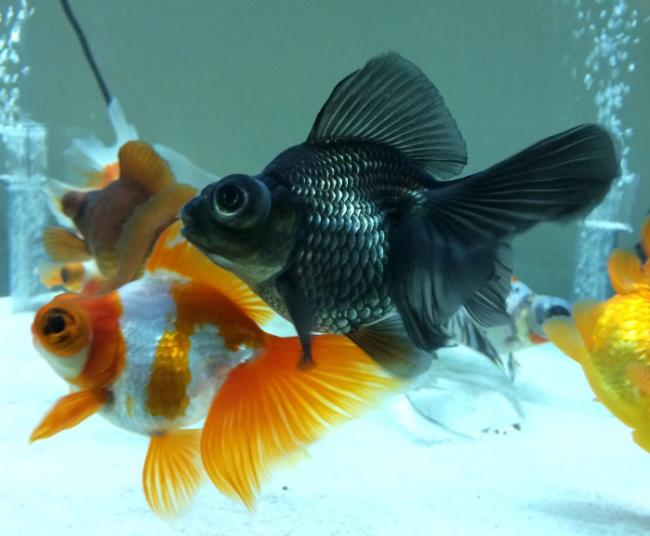 Аквариум с золотыми рыбками по фэн-шуй - лучший талисман богатства: форма и размеры аквариума