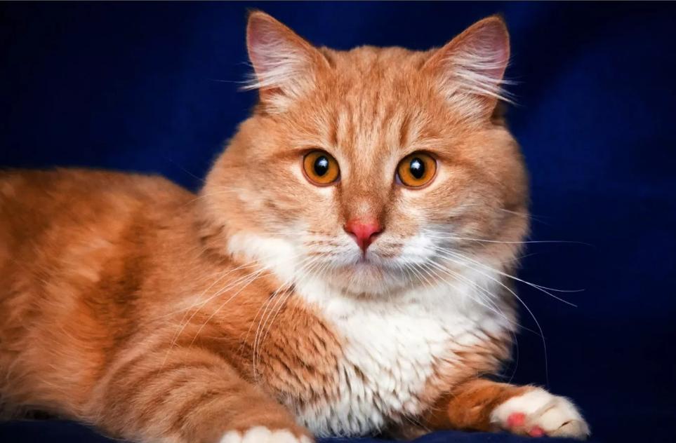рыжий кот с белой грудкой