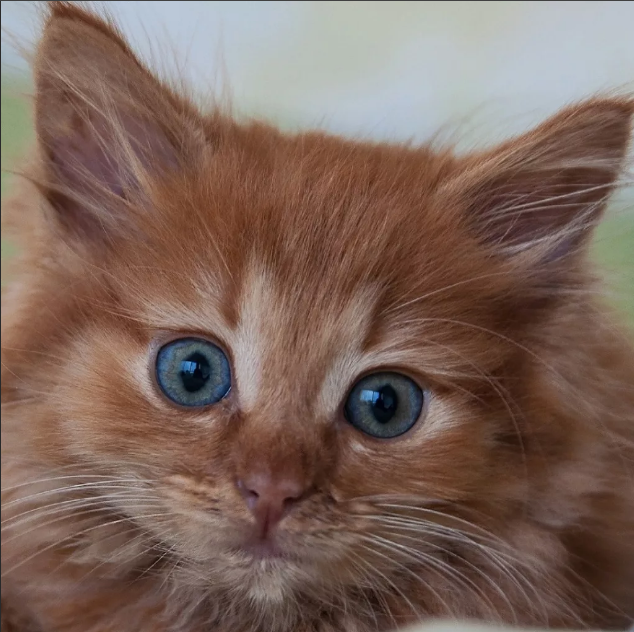 рыжий кот кошка
