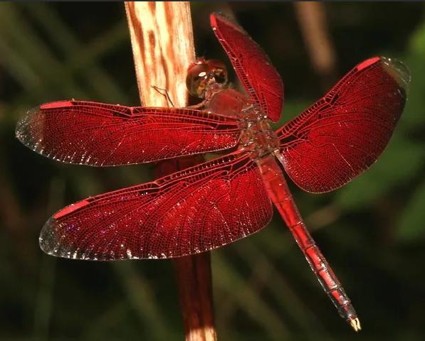 стрекоза красная