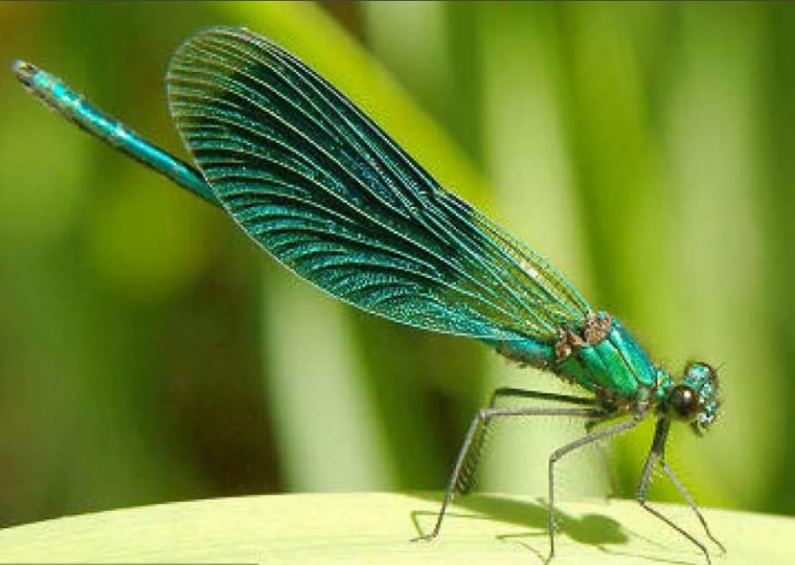 стрекоза зеленая