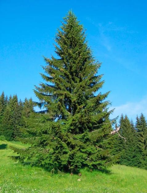 Почему нельзя сажать елку во дворе или возле дома, участка — приметы о сосне и остальных хвойных деревьев