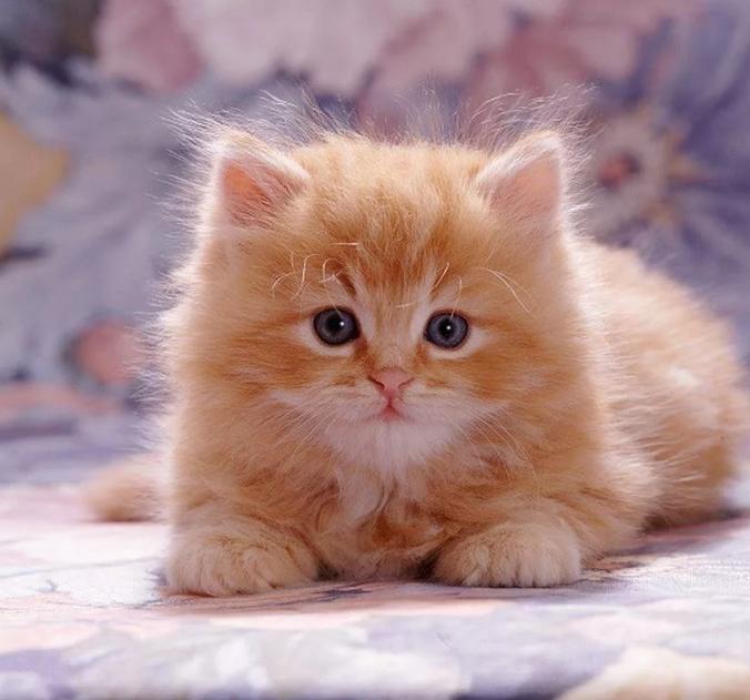 рыжий котенок с голубыми глазами