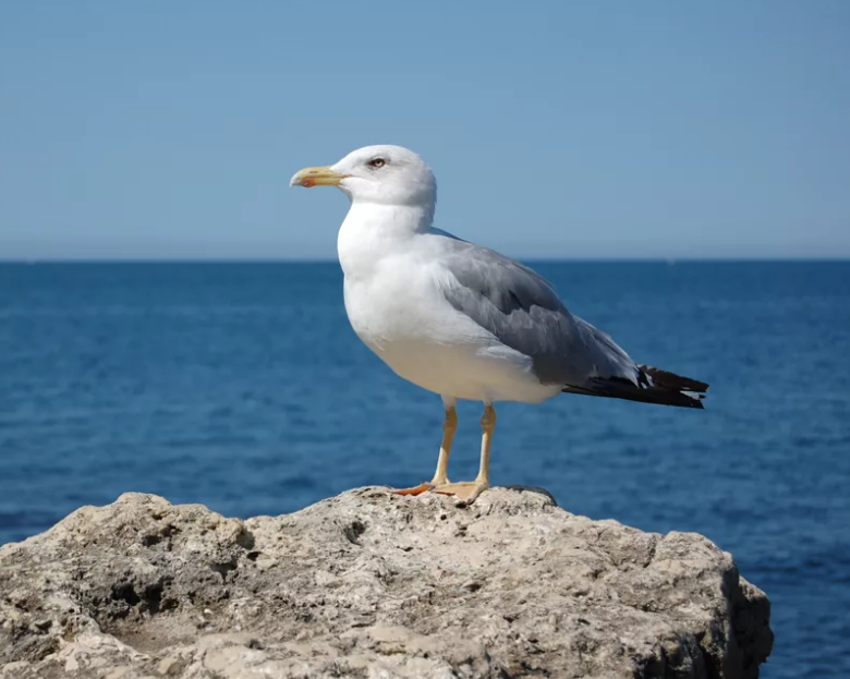 Чайка черноморская