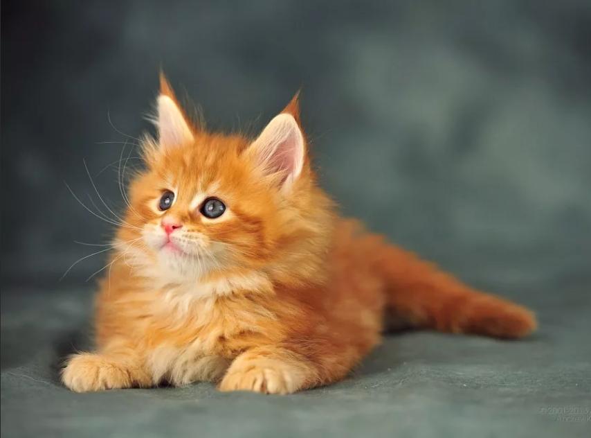 рыжий котенок с серыми глазами