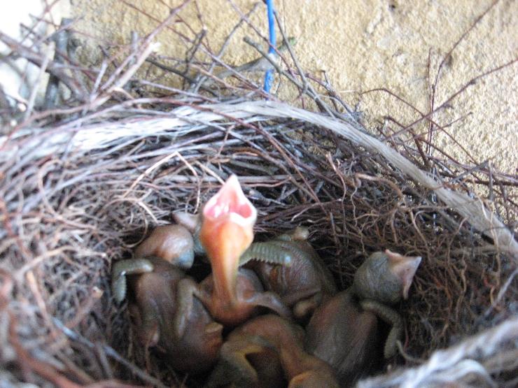 гнездо стрижей
