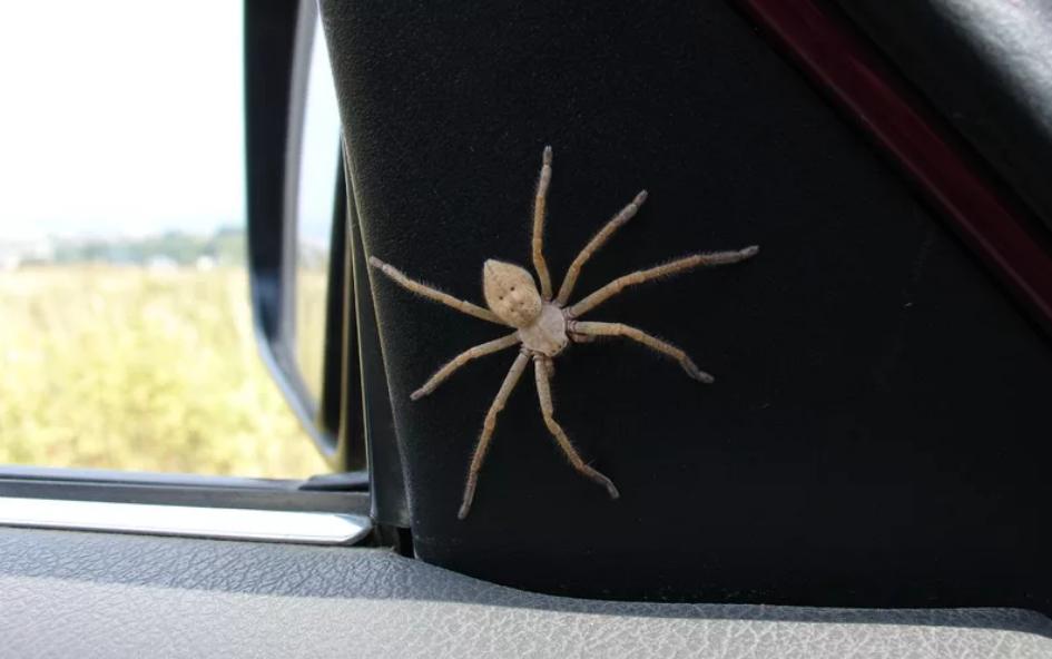 Паук в машине: народная примета - поведение паука