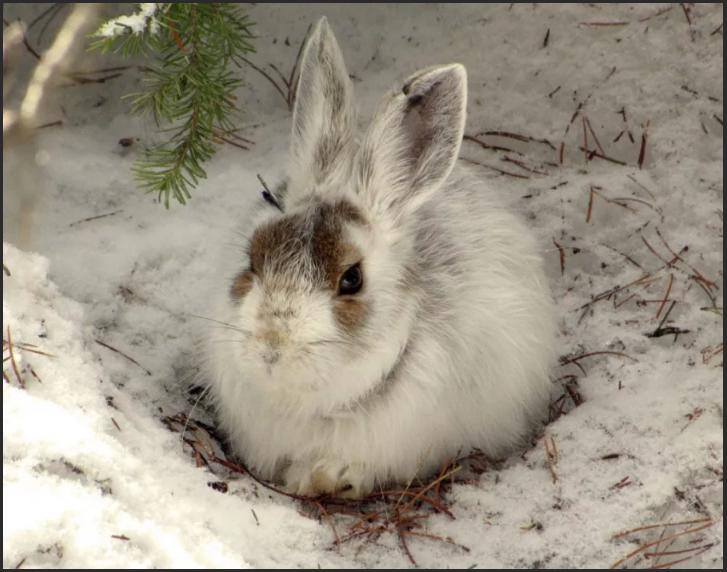 шубка зайца в пятнах - примета к теплой зиме